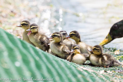 Mallard Baby Crowd