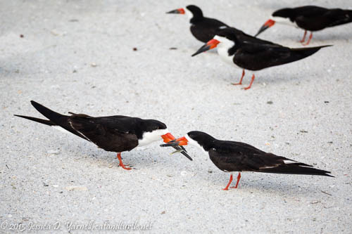 Black Skimmer Fish Exchange