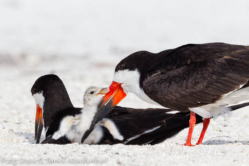 Black Skimmers with Baby