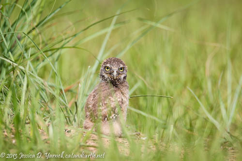 The Littlest Burrowing Owl Baby