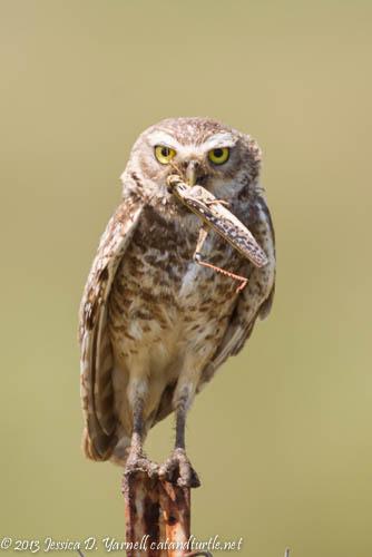 Burrowing Owl Mom Brings in Breakfast