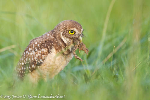 Burrowing Owlet with Frog