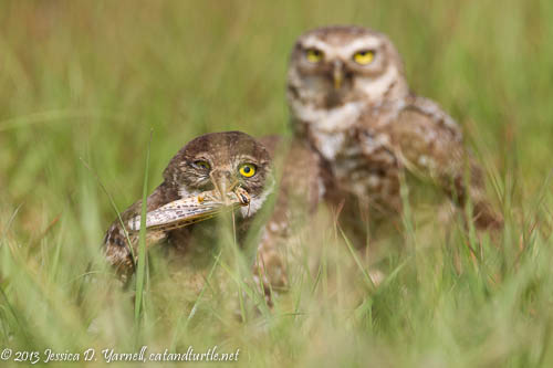 Baby Burrowing Owl with Grasshopper