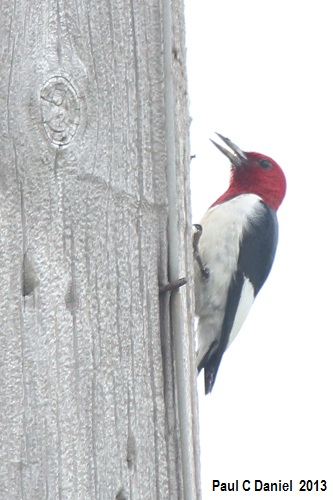 PaulsRHwpecker