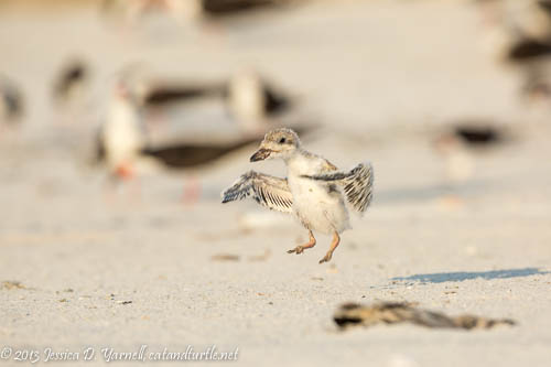 Learning to Fly_Indian Rocks Beach_201307272_copyrightJessYarnell