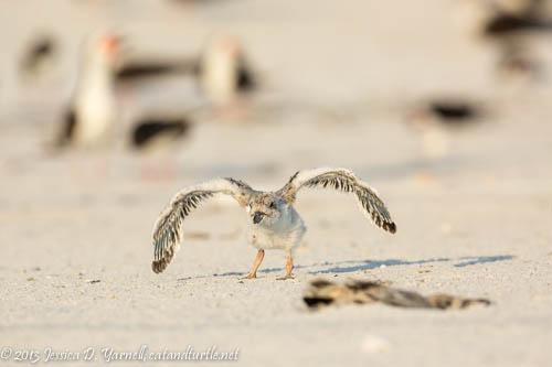 Learning to Fly_Indian Rocks Beach_201307274_copyrightJessYarnell