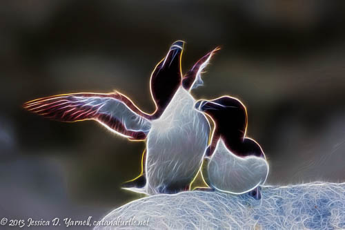 Razorbill Courtship Fractalized