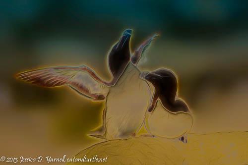 Razorbill Courtship Bi-Color