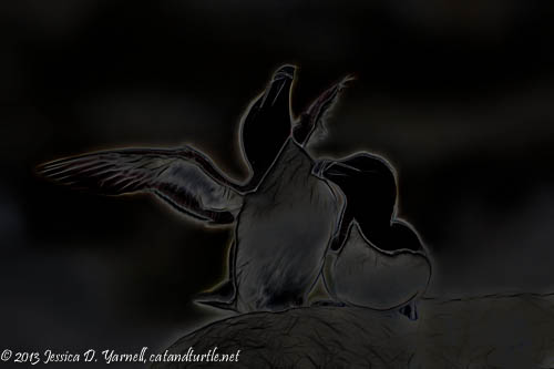 Razorbill Courtship Black and White