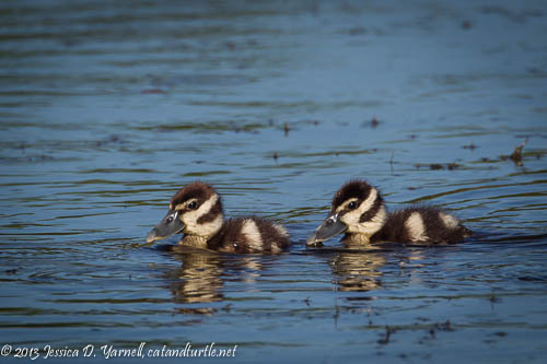 All Alone- Black-bellied Whistling-Ducklings