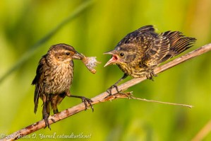 Red-Winged Blackbird (Female feeding juvenile)