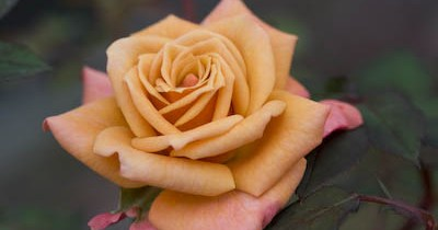 Crackling Fire rose