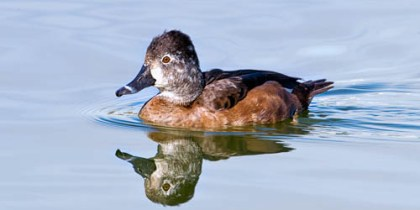 Female Ring-Necked Duck with Perfect Reflection