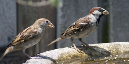 House Sparrow (Female and Male)