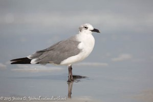 Laughing Gull (Winter Plumage)
