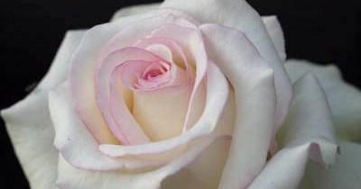 Moonstone rose