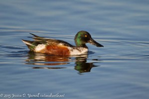 Northern Shoveler (Male)