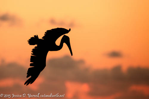 Pelican Dive at Sunset