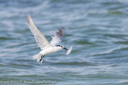 Sandwich Tern diving for a fish