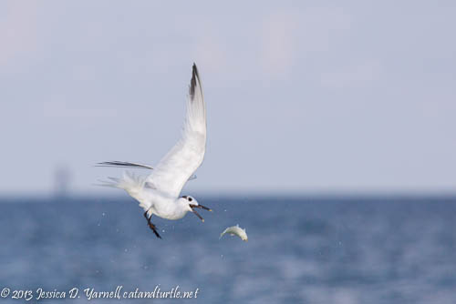 Sandwich Tern chases fish in mid-air