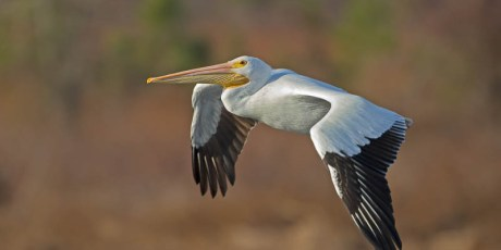 American White Pelican against Winter Background