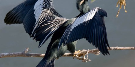Anhinga with Nesting Material - Finalist in 2010 Gatorland Photo Contest