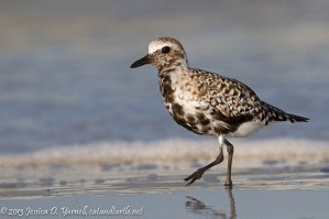 Black-Bellied Plover Stroll