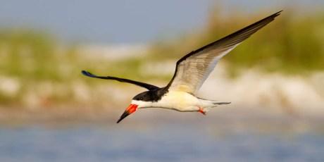 Black Skimmer Fly-In