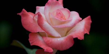 'Gemini' rose - Honorable Mention in 2009 American Rose Photography Contest