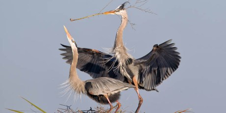 Great Blue Heron Courtship