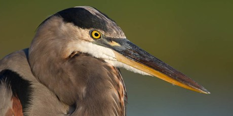 Great Blue Heron Summertime Head Shot