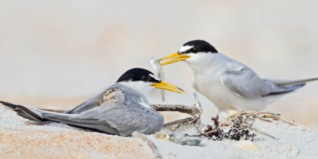 Least Tern Family Meal