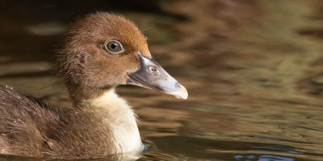 Little Brown Muscovy Chick