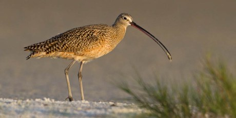 Long-billed Curlew with Snack