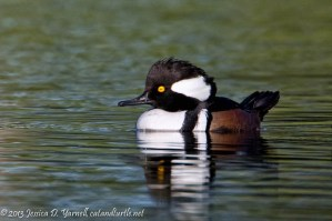 Male Hooded Merganser at our Back Pond