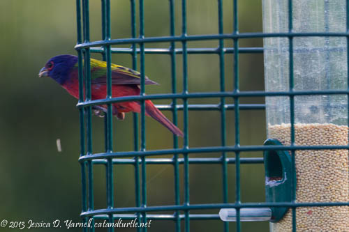 First of Fall Painted Bunting