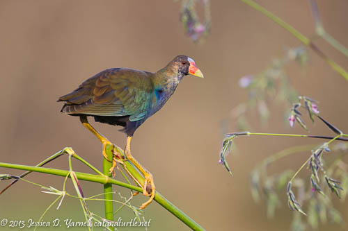 Purple Gallinule on Alligator Flag