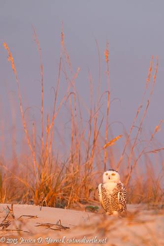 Snowy Owl in Florida!!!