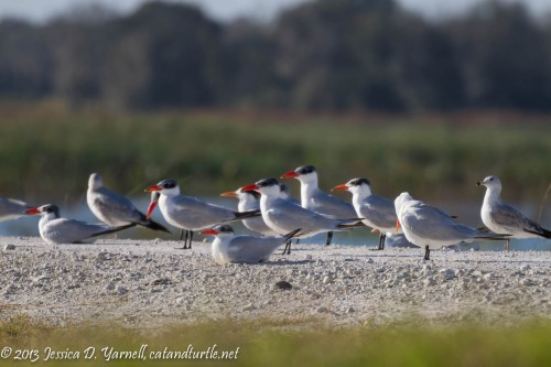 Tern Hang-out
