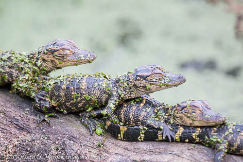 Alligator Baby Stack