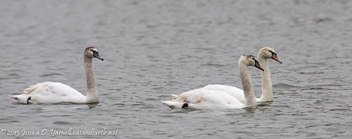 Juvenile Mute Swans at Lake Morton