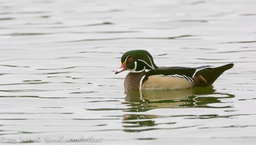 Wood Duck on a Dreary Day