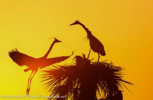 Great Blue Herons at Sunrise