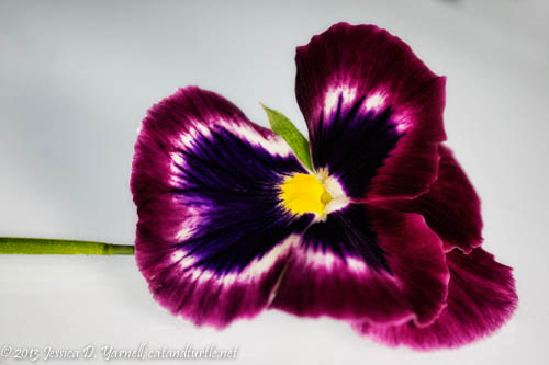 Pink and Purple Pansy