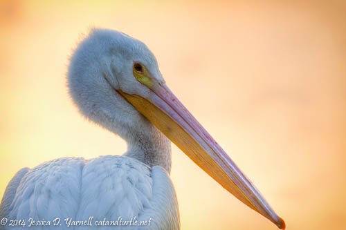 American White Pelican Head Shot