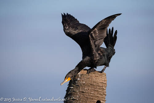 Double-crested Cormorant Breeding Display