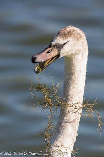 Juvenile Swan Entanglement