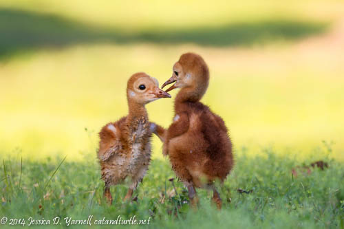 Playtime!  The Sandhill Crane colts peck at each other under the shade of a tree