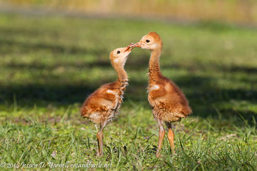 Sibling-Scuffle_Red-Bug-Lake-Park_201403141_copyrightJessYarnell