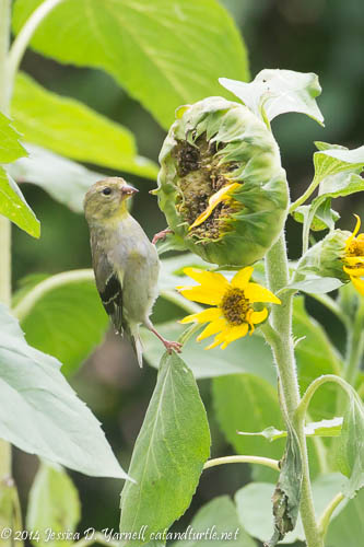 Being a Real Bird - Eating Seeds Straight from the Flower!
